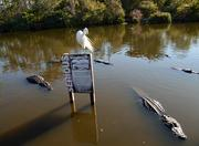 A great egret plays it cool as a group of alligators patrol their turf.