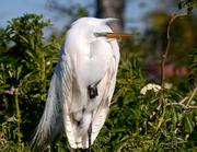 A great egret seems a little groggy. You would be too if you spent a chilly night in a tree.
