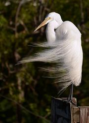 The molting feathers of a great egret blow in the morning breeze. Springtime is when egrets shed their plumage.