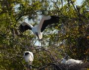 A group of wood storks get comfortable in the trees at the edge of the breeding marsh.