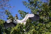 A wood stork gathers branches for a nest as the residential real estate market booms in the breeding marsh. No building permits necessary.