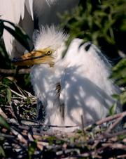 Just like human children, young egrets also learn by watching big birds. Get it?