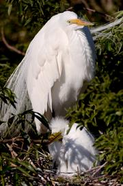 A young egret sits under its mother in a nest that hangs just over the water. These birds choose nesting sites close to alligator nests to protect their young from predators.
