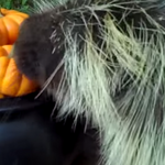 A pumpkin-eating porcupine, vintage Apple computers and 7 other stories to delight and inform