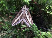 One of the most common big moths around, a lined sphinx. Learn to know it on sight.