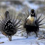 Sage grouse declared 'threatened'; Colorado, others to sue over oil and gas impact