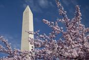 The Washington Monument stands behind cherry trees blossoming in D.C. March 19, 2012. 2012 marked the 100th year since Japanese flowering cherry trees first graced the National Mall.