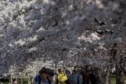 Visitors walk below cherry trees in blossom next to the Tidal Basin in the District during the National Cherry Blossom Festival in March 2012.