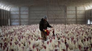The Big Picture: Thanksgiving prep on an indie turkey farm