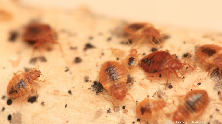 Close-up, bed bugs resemble apple seeds in size and color.