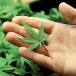 'Bad actors' in medical marijuana to be weeded out, Seattle official says