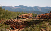 Logs wait to be stacked on trucks and ferried to Stimson Lumber Co.'s Gaston mill.
