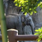 Oregon Zoo's elephants help pioneer a new timber technology (Photos)