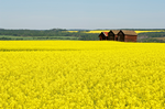 Wheat concerns spread to Willamette Valley canola battle