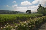 The vineyards at one of Dr. Revana's wineries