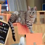 Cat cafe gets OK to open in Maplewood