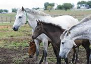 The Andalusian, also known as the Pure Spanish Horse and their foals that will turn white/grey as they mature at Medieval Times' Chapel Creek Ranch in Sanger, the horse ranch that supplies the company's nine castles had 22 births this year.