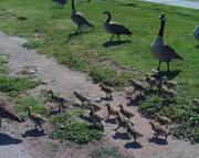 Baby geese may crash the party -- it's that time of year -- but, hey, they're so cute!