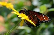 A monarch butterfly collects nectar.