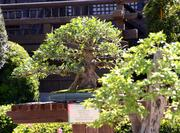 Bonsai trees as old as 100 years are arranged throughout the Japan pavilion in World Showcase.