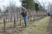 Jack West, a friend of the Brooks Hill Winery owners, pruned the vines recently for the winery.