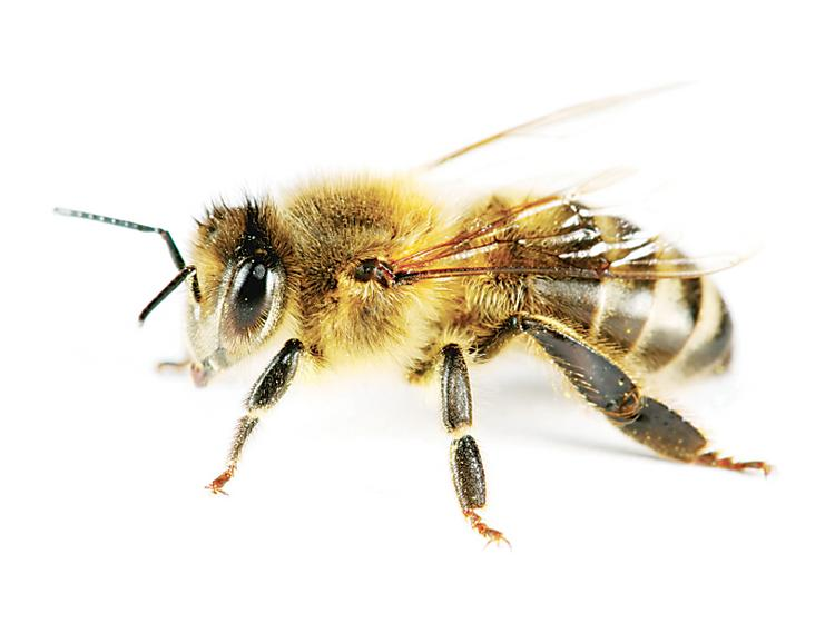 It behooves honeybee colonies to have more mates, N.C. State researchers found.