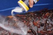 Crawfish have to cleaned with saltwater  before they can go in the boil.