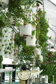 Plants are suspended from the ceiling and float in nutrition rich baths. And where do the nutrients come from?