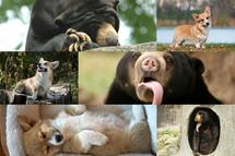 Sun Bears and Corgis