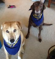 Buster (L) and Beesley (R) showing their Navy pride during Friday's 15th annual Take your Dog to Work Day. Buster and Beesley are dogs to WBJ audience development account executive Christine Giminiani.