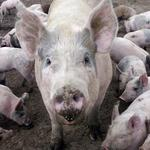 Pork council asks N.C. appeals court to reverse swine-gas ruling