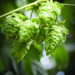 How Florida-grown hops could boost local craft beer