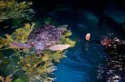 A New England Aquarium diver tempts a giant sea turtle with a Brussels sprout in the refurbished large tank.
