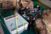 Netted fish which were kept in the gray holding tank are transferred to the white tank which is then hoisted to a cart and moved by elevator to the top of the large tank where they are released.