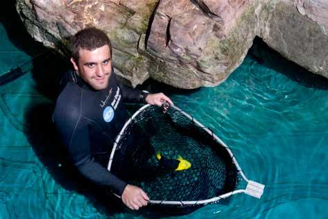 The process of restocking the large, refurbished tank at the New England Aquarium begins by netting the fish, which were temporarily kept in the penguin area. The penguins have been spending their time at a facility in Quincy. Here volunteer Luigi Disistio nets a rock beauty fish.