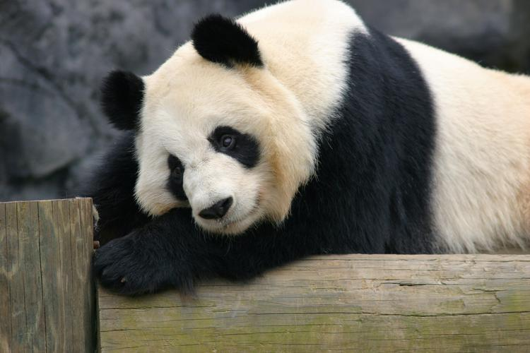 Lun Lun, Zoo Atlanta's 15-year-old giant panda, is expecting her fourth cub.