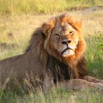 Houston-area safari operator weighs in on implications of Cecil the lion's death