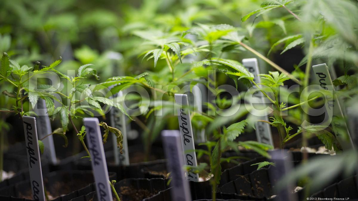 Why medical marijuana is becoming a business opportunity