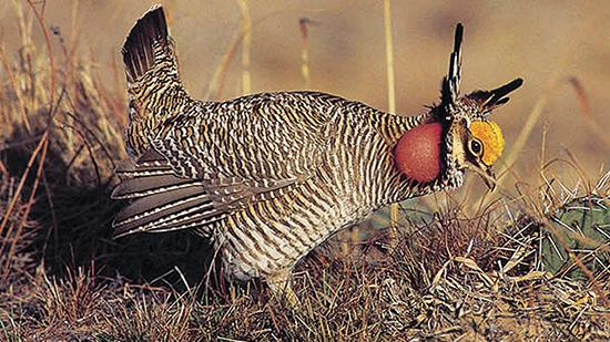 "A decision by the U.S. Fish and Wildlife Service to list the lesser prairie chicken as ""threatened"" under the Endangered Species Act has displeased Gov. Susana Martinez and Rep. Steve Pearce (R-2), both of whom said the ruling will hinder economic development in the state."