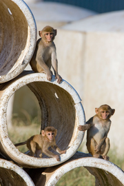 Rhesus monkeys at the OHSU primate research center.