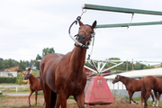 A horse uses the walker to cool down after a morning workout at Portland Meadows.