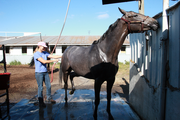 The Sutton's Quarter horse gets rinsed down after a workout on the track.