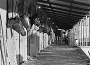 The backside stables at Portland Meadows were quite full 30 years ago.