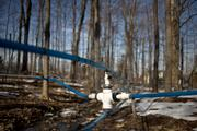 Lines from tapped Maple trees join and feed maple sap into a collection tank at Richards Maple Products.