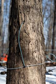 Lines connected to tapped maple trees collect sap into a collection tank at Richards Maple Products.
