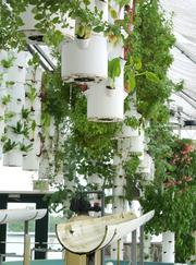 Various types of lettuce rotate through suspended spray irrigation inside the Green Sky hydroponic farm in Winter Garden. Nutrient-rich water is used to feed the root systems without soil. Click here to read more about Green Sky.
