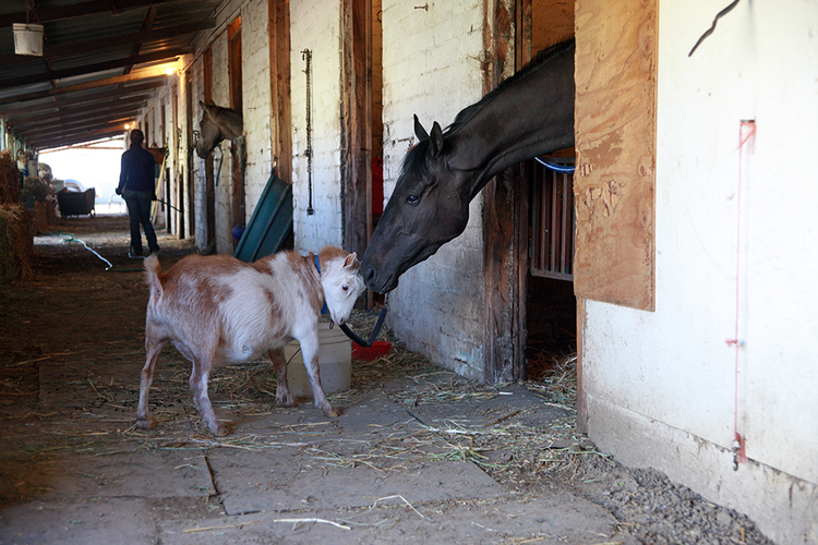 """Monday, 6:15 a.m.: At the Portland Meadows backside stables, """"Mr T,"""" a two-year-old  goat does, his job at calming a nervous three-year-old thoroughbred named """"Shame the Devil."""""""