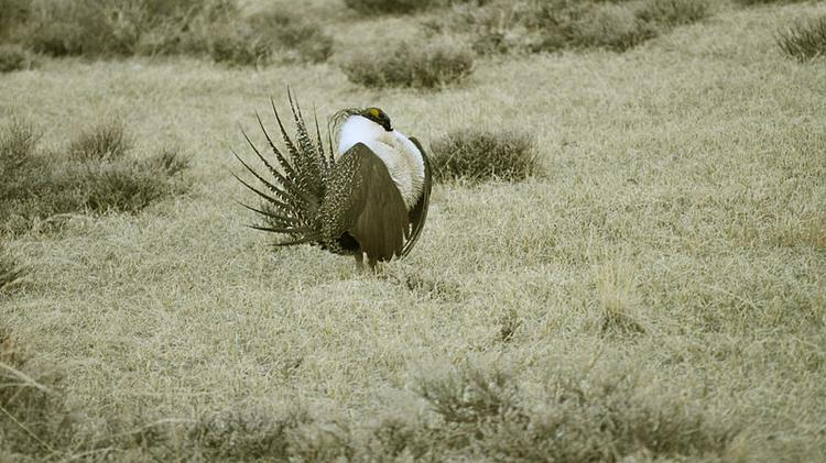 Colorado sounds off on greater sage-grouse decision - Denver