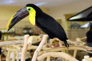 A toucan shows off a long beak and dramatic color at Parrot Planet.