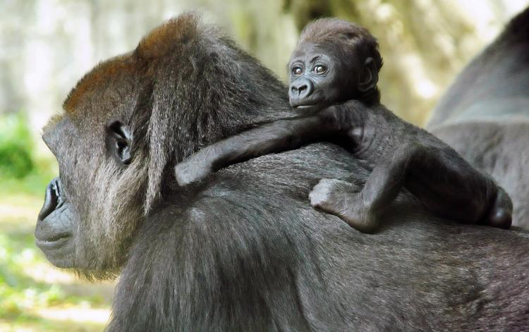 The N.C. Zoo in Asheboro has seen little progress on efforts to attain more management flexibility, but leaders there aren't giving up. In this file photo, baby Bomassa on his mother's back at the N.C. Zoo
